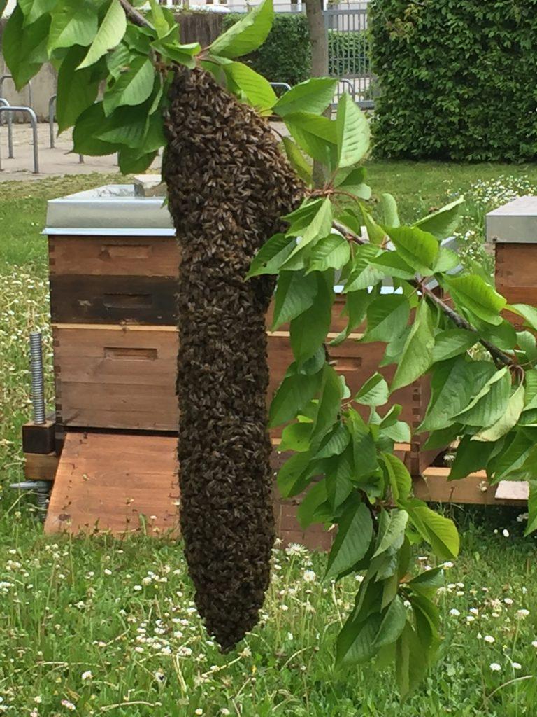 Schwarm Bienen